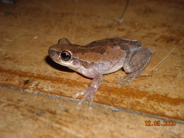 naked treefrog.JPG