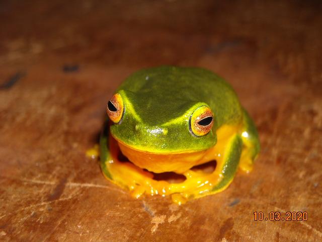 orange-eyed treefrog 2.JPG