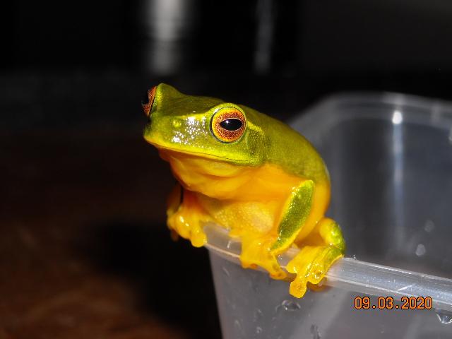 Orange-eyed treefrog.JPG